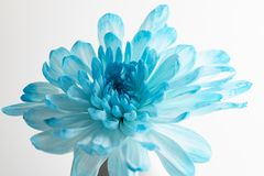 Beautiful blue chrysanthemum flower over the bottle on white bac. Beautiful blue chrysanthemum flower close-up on white background royalty free stock images