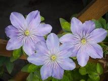 Beautiful blue clematis cultivar 'Justa' Stock Photography
