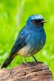 Beautiful blue color bird known as Indigo Flycatcher Eumyias Indigo on perch