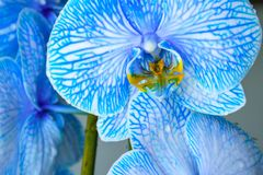 Beautiful blue colored orchid flower with yellow nectar royalty free stock photos