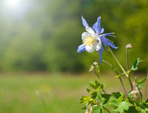 Beautiful blue Columbine in sun Royalty Free Stock Image