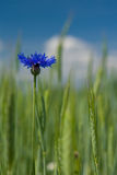 Beautiful blue cornflower Stock Image
