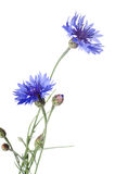Beautiful blue cornflower Royalty Free Stock Image