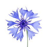 Beautiful blue cornflower Royalty Free Stock Photos
