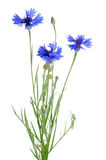 Beautiful blue cornflower Royalty Free Stock Photo