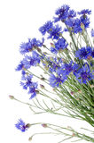 Beautiful blue cornflower Stock Photos