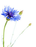 Beautiful blue cornflower Royalty Free Stock Photography