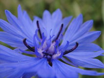 A beautiful blue cornflower Stock Photography