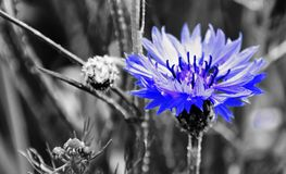 Beautiful blue Cornflower Stock Image