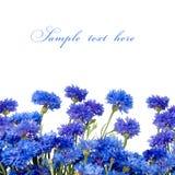 Beautiful blue cornflower isolated on white background Stock Photography