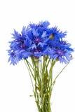 Beautiful blue cornflower isolated Royalty Free Stock Image