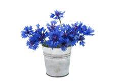 Beautiful blue cornflower isolated Stock Photos