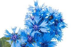 Beautiful blue cornflower Royalty Free Stock Image