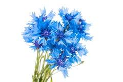 Beautiful blue cornflower Stock Images