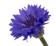 Beautiful blue cornflower isolated on white background Royalty Free Stock Photography