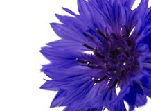 Beautiful blue cornflower isolated on white background Royalty Free Stock Photo