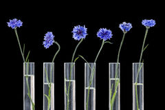 Beautiful blue cornflower in test tubes isolated on black-herbal medicine research stock image