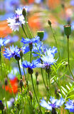Beautiful blue cornflowers Royalty Free Stock Photos