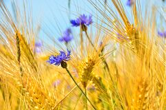 Free Beautiful Blue Cornflowers In Front Of An Light Brown Grain Field In Summer Stock Images - 190471494