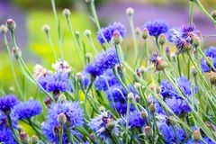 Beautiful cornflowers meadow close up. Beautiful blue cornflowers meadow in the summer time on a sunny day Royalty Free Stock Photography