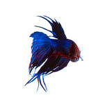 Beautiful blue crown tail siamese thai betta fighting fish isola. Ted white background Stock Photos