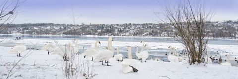 On the beautiful blue Danube. A bevy of swans. On the beautiful blue Danube. Winter scenery with a bevy of swans, a flock of grebes, frozen river, and stock image