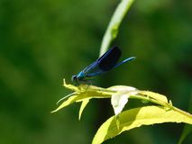 Beautiful blue dasherdragonfly sitting on a leaf royalty free stock photo