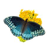 Beautiful blue Diana Fritillary butterfly feeding on a yellow milkweed, isolated stock images