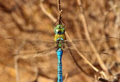 Beautiful blue dragonfly anax imperator, from above. Great blue dragonfly anax imperator Stock Photo