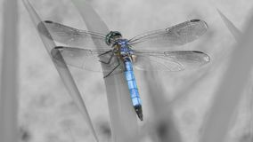 Beautiful Blue Dragonfly stock photo