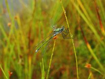 Beautiful blue dragonfly with morning dew , Lithuania Stock Photo