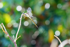A beautiful Blue dragonfly is resting Royalty Free Stock Image