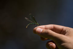 A beautiful blue dragonfly sitting on a hand near the river. Royalty Free Stock Photography