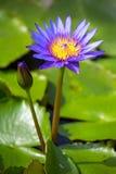Beautiful blue Egyptian water lily. (Nymphaea caerulea) closeup Stock Photos