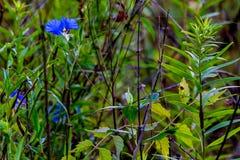 A Beautiful Blue Erect Dayflower. (Commelina erecta) Wildflower Growing Wild in the Wild Texas Prairie stock image