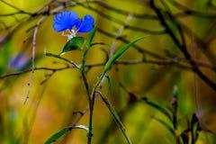 A Beautiful Blue Erect Dayflower (Commelina erecta) Wildflower Growing Wild in the Wild Texas Prairie. Stunning golden background stock images