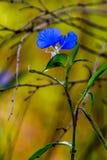 A Beautiful Blue Erect Dayflower (Commelina erecta) Wildflower Growing Wild in the Wild Texas Prairie. Stunning golden background stock photos