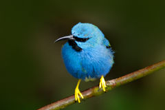 Beautiful blue exotic tropic blue bird with yellow leg, Costa Rica. Shining Honeycreeper, Cyanerpes lucidus, exotic tropic blue ta Stock Images