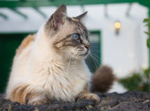Beautiful blue eyed cat Stock Images
