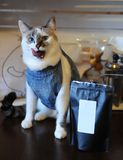 Beautiful blue-eyed cat in denim vest licked next to a pack of coffee. Empty label, space for design. Beautiful blue-eyed cat in denim vest licked next to pack Royalty Free Stock Images