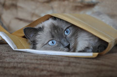 Cat in the envelope. Beautiful blue-eyed cat in the envelope stock photo
