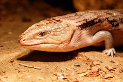 Beautiful blue-eyed skink lizard, tiliqua scincoides. Close-up royalty free stock images