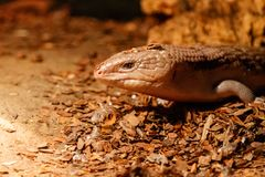 Beautiful blue-eyed skink lizard, tiliqua scincoides. Close-up royalty free stock image