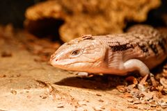 Beautiful blue-eyed skink lizard, tiliqua scincoides. Close-up royalty free stock photos