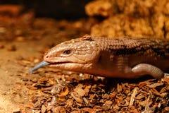 Beautiful blue-eyed skink lizard, tiliqua scincoides. Close-up stock photo