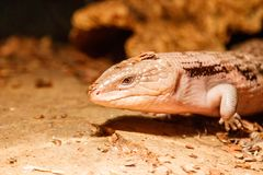 Beautiful blue-eyed skink lizard, tiliqua scincoides. Close-up stock photography