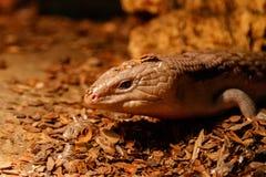Beautiful blue-eyed skink lizard, tiliqua scincoides. Close-up stock image