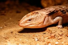 Beautiful blue-eyed skink lizard, tiliqua scincoides. Close-up royalty free stock photo