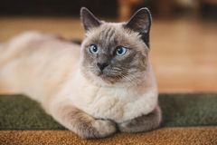 Beautiful blue-eyed thai cat lies on the carpet Stock Photography