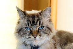 Beautiful blue eyes female cat, hypoallergenic cat. Animal that can be pet by people who is allergic to cats. Stock Photo